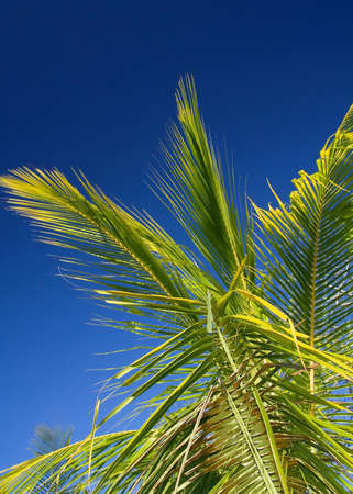Palm tree under the cloudless tropical sky of Costa Rica