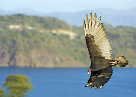 Large bird of prey soars majestically in the morning sun