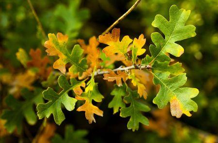 quercus: Fall Leaves. Valley Oak, Quercus lobata.