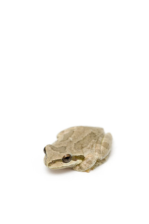 Little Frog isolated on a white background (1058) Banco de Imagens