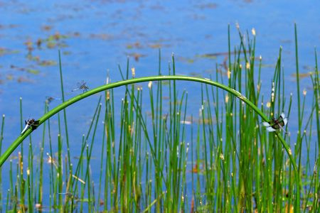 Widow skimmer dragonflies sit on an arched reed (0352) photo