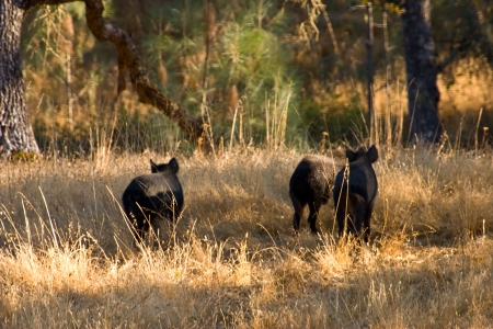 Three young wild pigs in the golden glow of sunset (0448)