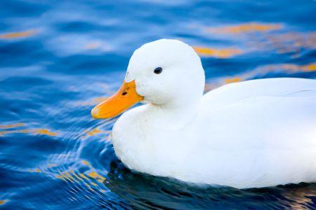 Bright white duck with orange bill on blue water photo