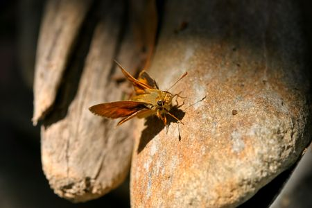 ochlodes: A Woodland Skipper butterfly, Ochlodes sylvanoides, on rock Stock Photo
