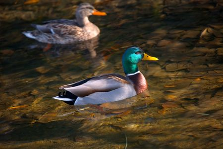 Male and Female Mallard in Fall River Stock Photo