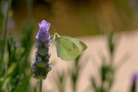 Cabbage White butterfly, Pieris rapae, on Spanish Lavendar