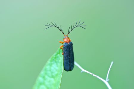 the antennae: Usual Firefly, Pterotus obscuripennis, with large antennae