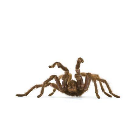 defensive posture: Wild California Tarantula, genus Aphonopelma, in Defensive Posture