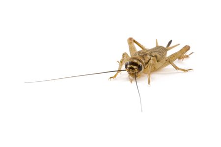 chitin: A pale brown cricket isolated on a white background
