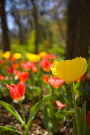 Yellow Tulip with Mass of Flowers in Background
