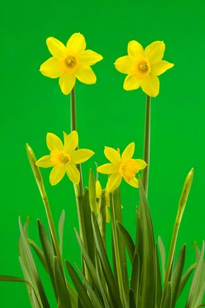 Yellow Spring Daffodils on a Green Background Stock Photo