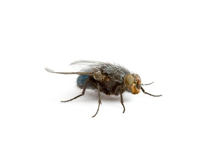 House Fly isolated on a White Background