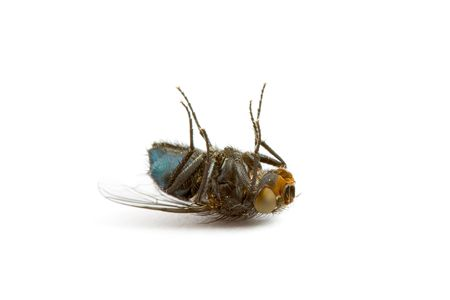 Closeup of a Dead Fly isolated on White Stock Photo