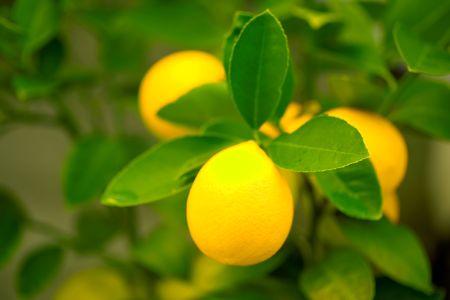 Fresh Lemons amid Leaves on a Tree