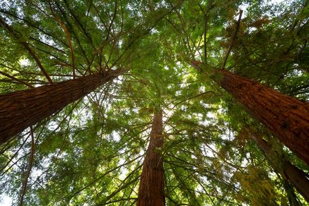 Looking Up at Sunlight Filtering through Redwood Trees Stock Photo