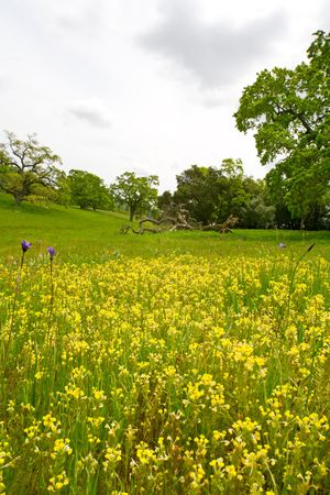 Wildflowers, Butter-and-eggs and Blue Dicks, in a Spring Green Landscape