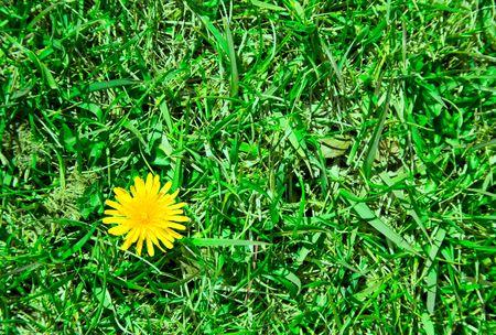 A single Dandelion Flower in the Grass