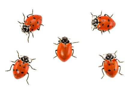 rebellious: Rebellious Ladybug Without Spots Amongst Others With Them