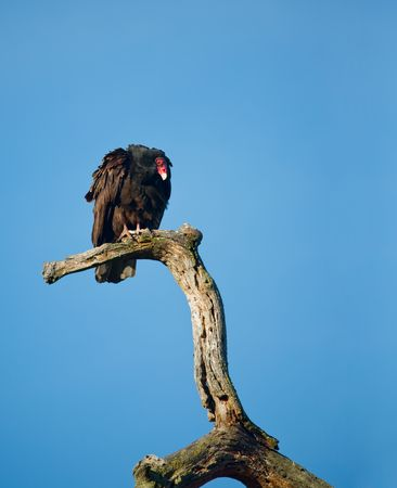the aura: Turkey Vulture, Cathartes aura, on a Dead Tree Branch
