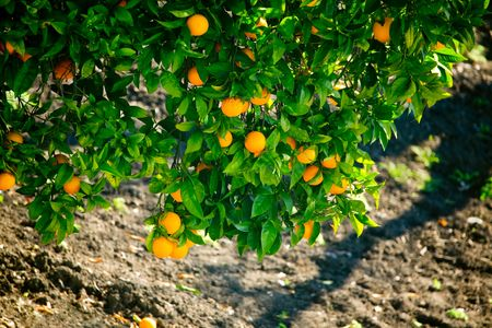 Branches of an Orange Tree Laden with Fruit