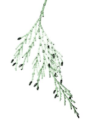 abstracted: Closeup of Cedar Branch Isolated on White Abstracted