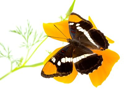 California Sister, Limenitis bredowii californica, butterfly with wings open on california poppy photo