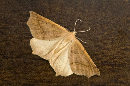 Cream Colored Moth on Wood A Background Stock Photo