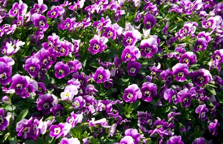 A Mass of Purple Pansies for Use as a Background
