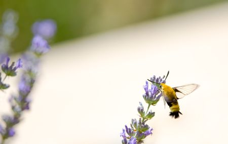 Snowberry Clearwing, Hemaris diffinis, hovering in Lavender