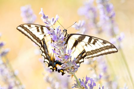 Western Tiger Swallowtail, Papilio rutulus, in field of Lavender and Wild Mustard Stock Photo