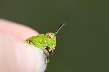 Grasping a Green Grasshopper in Grimy Grip photo