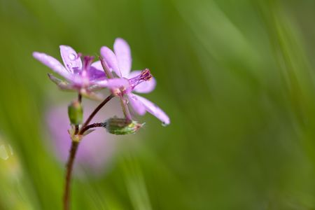 Wildflower with Dew, Red-Stemmed Filaree or Storksbill, Erodium cicutarium