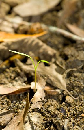 Tiny Sprout Emerges from Leaf Litter in the Woods