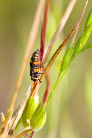 ladyfly: Closeup of Ladybug Larva, Likely Hippodamia convergens