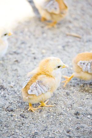 amok: Fluffy pisklęta żółty dotarty Amok krowy na wypasie