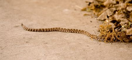 A Juvenile Northern Pacific Rattlesnake, Crotalus oreganus oreganus
