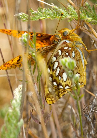 copulate: Closeup of Butterflies Mating Making Eyes at Each Other Stock Photo