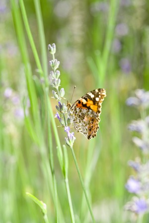Closeup of Orange Butterfly in French Lavender Stock Photo - 4183057