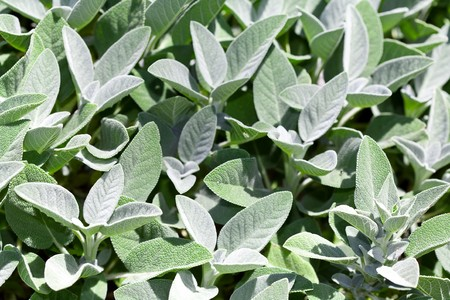 Mass of Gray Green Sage Plants for Use as Background Texture Stock Photo
