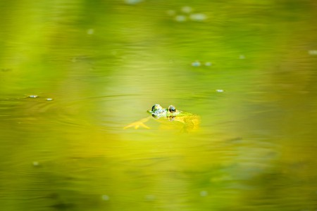 croak: Frog Floating in Concentric Circles of Spring Green Pond Stock Photo