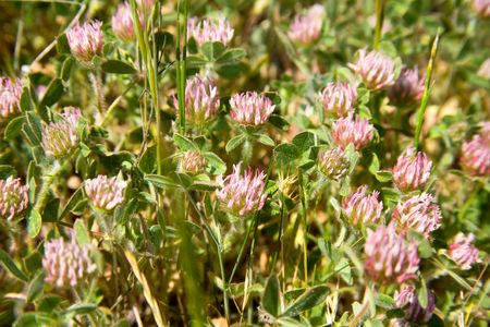 red clover: Patch of Wild Red Clover Growing in the Spring Stock Photo