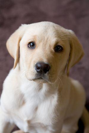 Closeup di un giovane Yellow Labrador Puppy Archivio Fotografico - 4642232