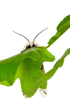 Vestal Tiger Moth, Spilosoma vestalis, on Oak Leaf Stock Photo - 4904632