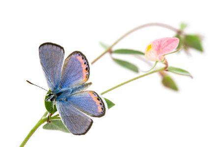 Acmon Blue, Plebejus acmon, Butterfly with Spanish Clover, Lotus purshianus photo