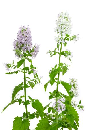 catnip: Flowering Catnip Plant, Nepeta cataria, isolated on white background