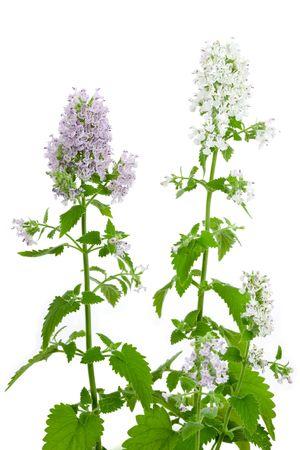 Flowering Catnip Plant, Nepeta cataria, isolated on white background