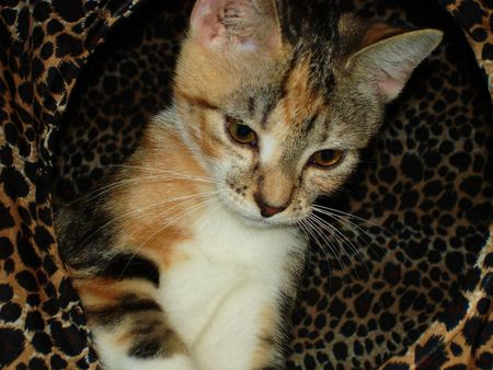 calico whiskers: kitty cat playing in her hosue Stock Photo
