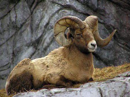 goat horns: Big Horn Sheep