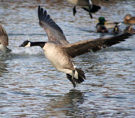 pato real: Canad� Goose