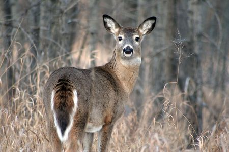 white tail deer: White Tail Deer